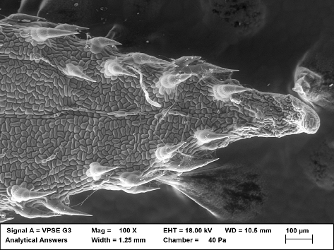 VPSEM image of hydrated leaf